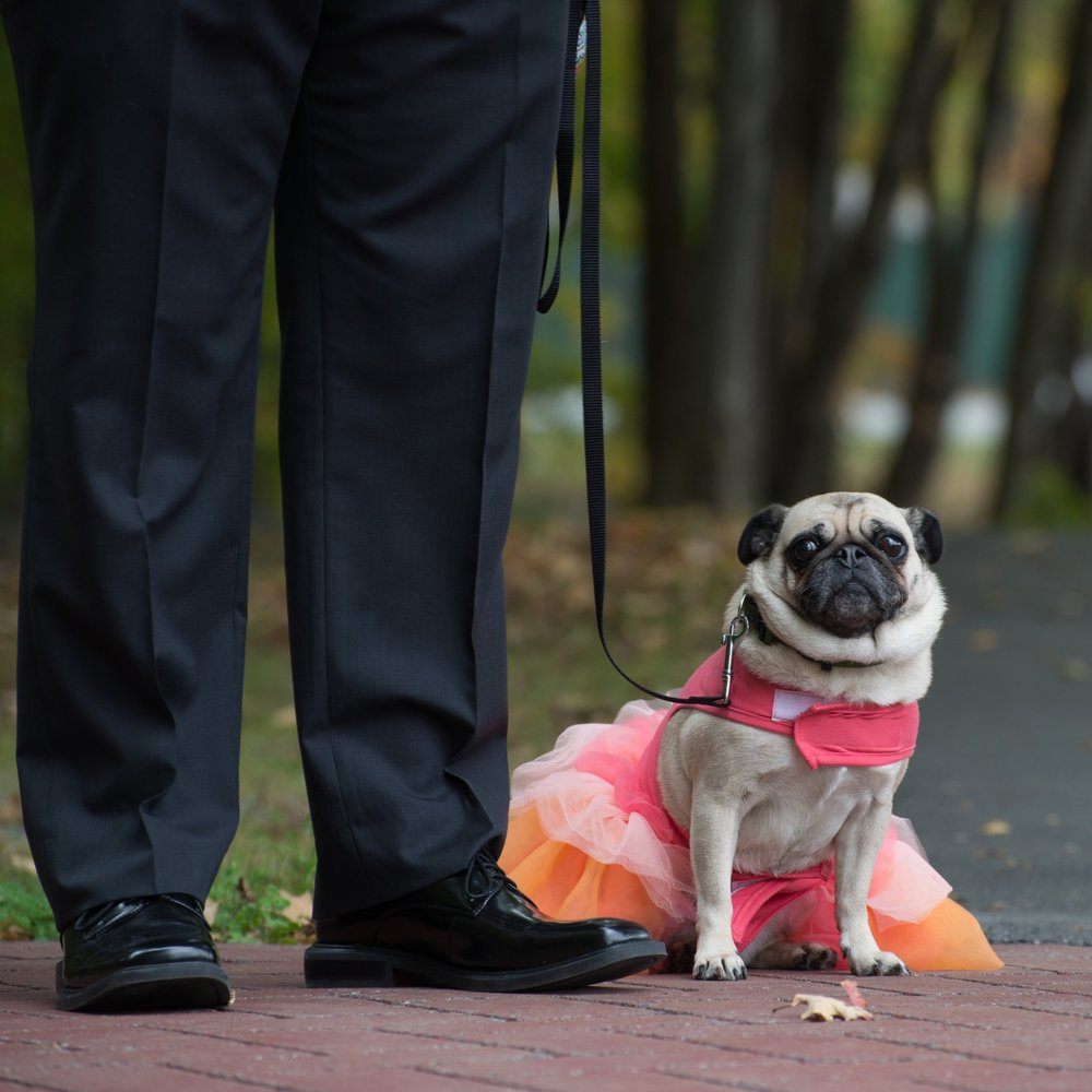 PUG INSPIRED WEDDING DAILY DOG TAG YM PHOTOGRAPHY SARATOGA WEDDING