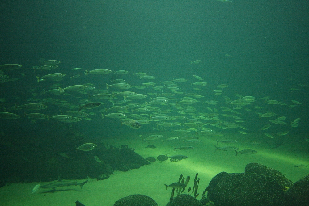 A school of Atlantic mackerel at the North Sea Oceanarium in Hirtshals, Denmark.