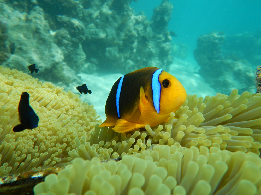 Adult clownfish.  (Photo Tommy Norin)