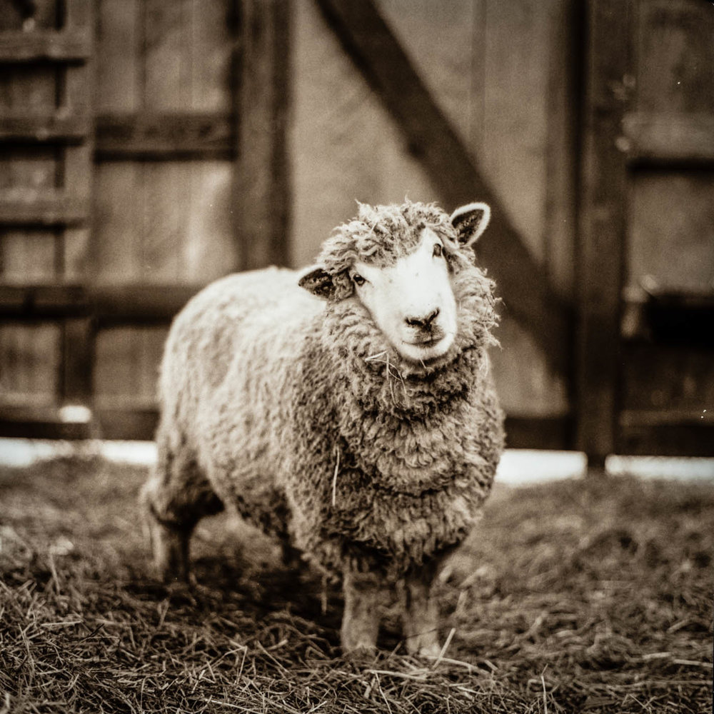 Coconut, a rescued sheep living at Piedmont Farm Animal Refuge in North Carolina