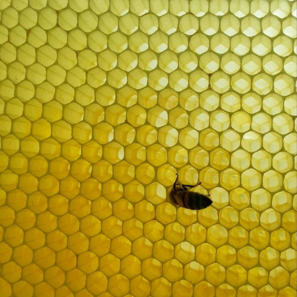 Single bee #2.jpg