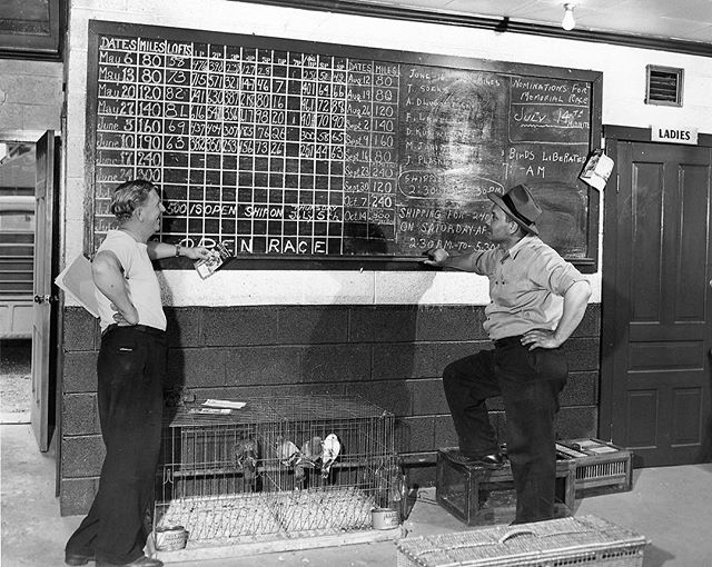 "#mondaymemories: ""Birds of a feather""  A sport that was introduced to the United States in 1875 is a key part of Toledo's history. Pigeon racing, the sport of releasing specially trained pigeons, began in Toledo about 100 years ago.  Pigeon racing was for the dedicated and skilled. Owners could only race a specific breed, Racing Homer, and had to formally train their pigeons to prepare for racing. As the pigeon reached maturity, the owners would begin training. Racing Homers were taken five miles away with an older bird, then released to find their way back home. Once the pigeon showed progress, the owner would lengthen the distance. For younger birds, the distance would be up to 300 miles from their home.  The homes of pigeons were cozy. They lived in pigeon lofts and owners would consistently tend to them. To identify a pigeon and its owner, a pigeon band would be placed on its leg. This was essential in accurately recording race data.  This photo was taken by Blade photographer Clarence Bailey on June 21, 1958. The photo shows Phil Mocek, left, and Stanley Przeniczny, right, reviewing scores and information on pigeon races held in Toledo.  Edward J. Musielewicz, World War II Navy vet, was a Toledo native known for training champion racing pigeons. While stationed in Japan, Musielewicz flew important inside information in a pigeon-carried capsule that helped save a U.S. ship from enemy attack. After retiring from the U.S. Navy, he continued his hobby. His pigeons won engraved silver trophies, cash prizes, and other honors.  #toledoblade #theblade #toledoohio #youwilldobetterintoledo #itmatterswhereyoumakeit #glasscity #history #nostalgia #toledo #pigeonracing #forthebirds"