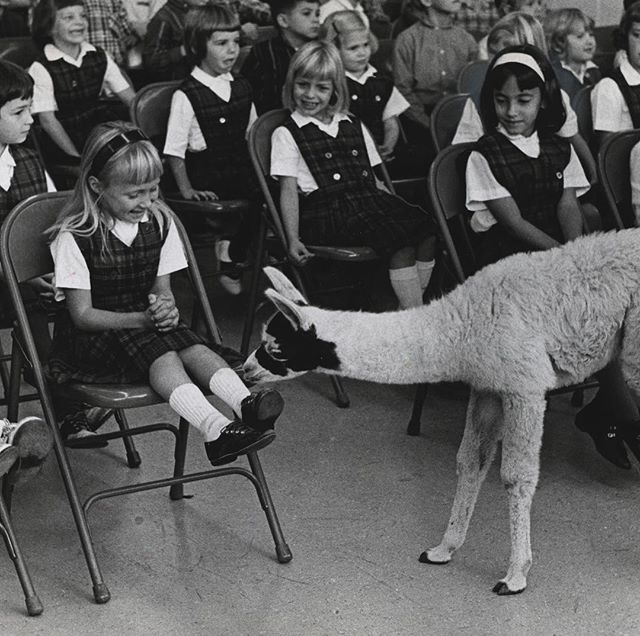 "#mondaymemories: ""When a the llama visited Christ the King""  If you can't arrange a summit with the Dalai Lama, why not just bring in a llama?  Regardless of ecclesiastical connection, first grader Cheryl Culpert was giddy to meet the exulted presence of this Andean livestock animal brought from @thetoledozoo to Christ The King elementary school on November 1, 1965, where Blade photographer Lee Merkle captured the moment.  The camelid was particularly interested in the young girl's socks, no doubt determining if the material was of its own wool.  With a little math, we can guess Cheryl would have been born after the school was built, but not much after.  The Blade reported that the Toledo Catholic Diocese broke ground for what was the 49th parochial school in the metropolitan area on Feb. 1, 1954. The Rev. Basil F. Goes presided at the shovel-turning ceremony at 4100 Harvest Lane as other interested members of the community and the parish looked on to the fallow mud where the school and church cornerstone would lie.  On August 27, 1955, The Blade's Tom O'Reilly would photograph the near-complete structure. But when the school year began on Sept. 27, Christ the King's own history notes that the classes for 134 1st to 7th graders were in the basement of St. Pius X School.  School wouldn't start in the new building until Nov. 2 — which happened to coincide with the first snowfall of the year. Despite the chaos and frolic the notion of a school snow day can bring, everyone got to class. Some, however, needed the help of Father Goes himself as he shuttled students by car because the school's lone bus was initially grounded from a frozen battery.  Full day classes in complete classrooms wouldn't happen until Nov. 29.  The iconic 65-foot tower with 20-foot cross on the church would be added in 1983.  #toledoblade #theblade #toledoohio #youwilldobetterintoledo #itmatterswhereyoumakeit #glasscity #history #nostalgia #toledo"
