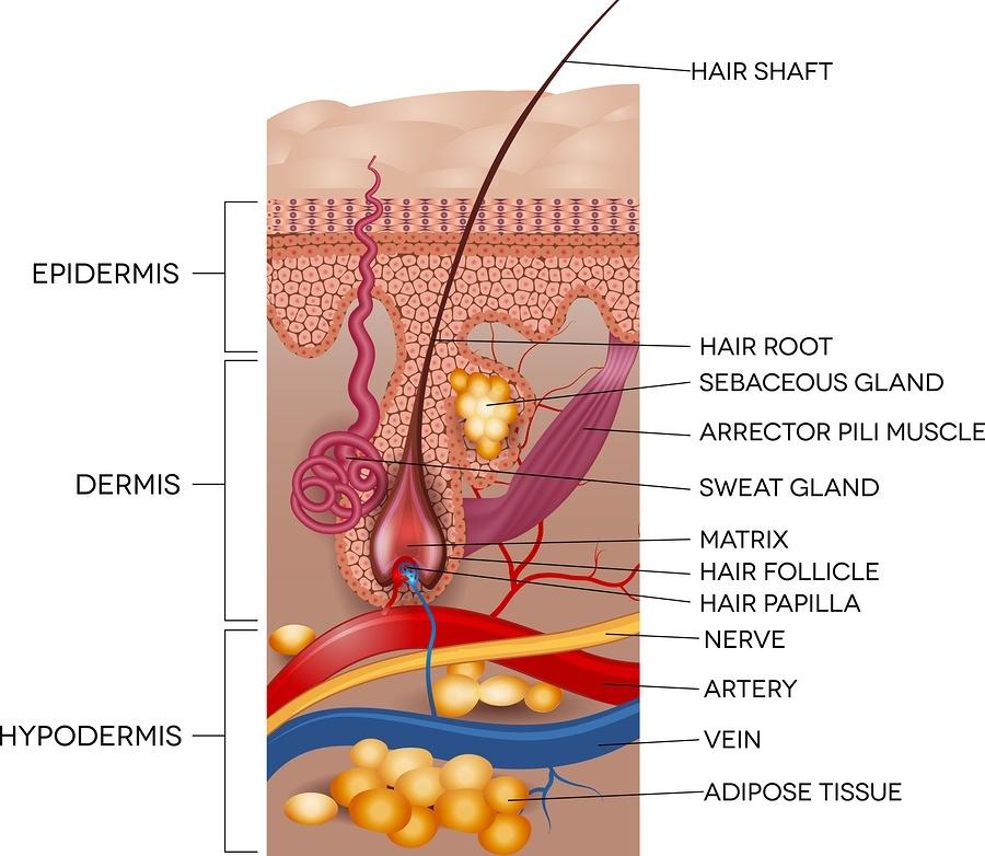 Skin And Hair Anatomy.jpg