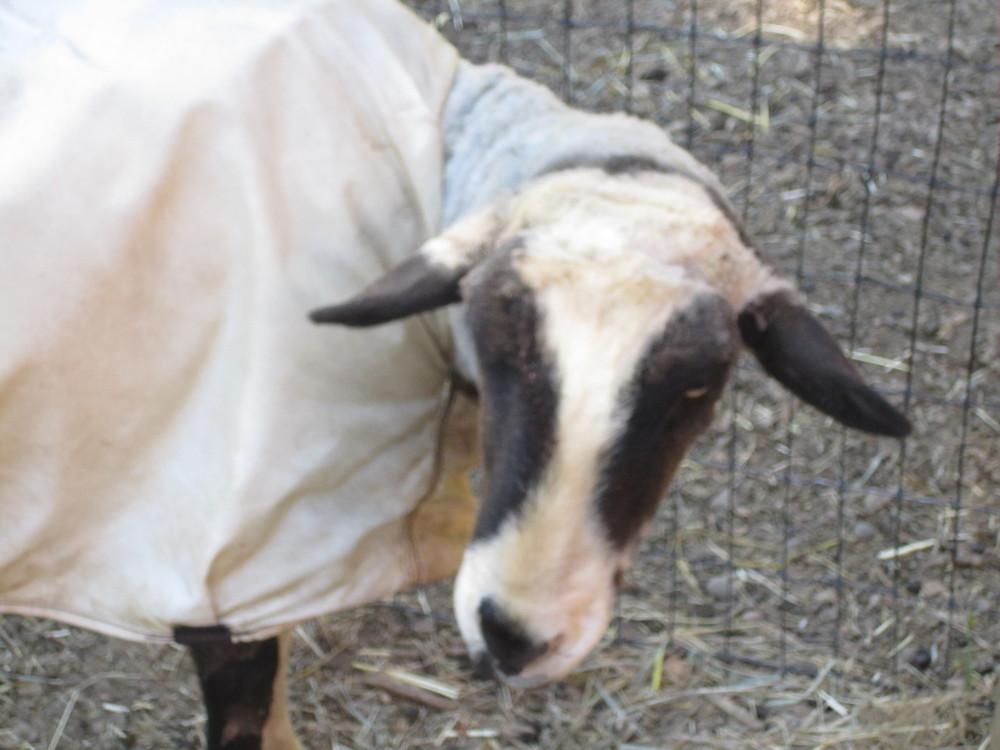 Orwen after shearing