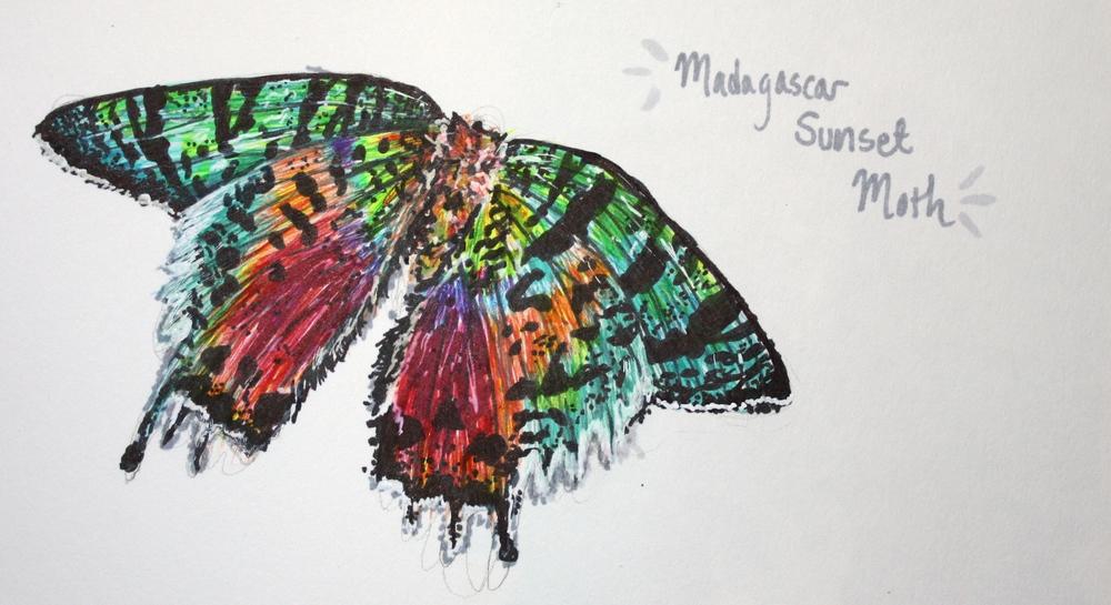 Madagascar Sunset Moth