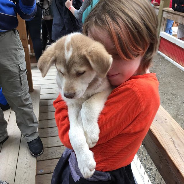 Did not think through letting Felix play with sled dog puppies.  I foresee a trip to the rescue in our future! #alaska