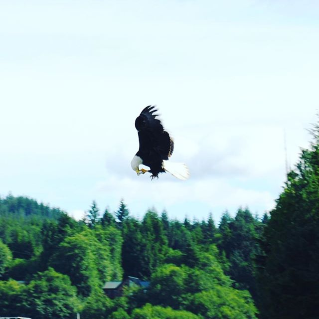Somehow snapped a shot of a bald eagle mid-flight eating a fish.  Ha!  Only in Alaska.  Thanks to Dani from #southeastexposureoutdooradventurecenter for some wicked fun kayaking on a beautiful day!
