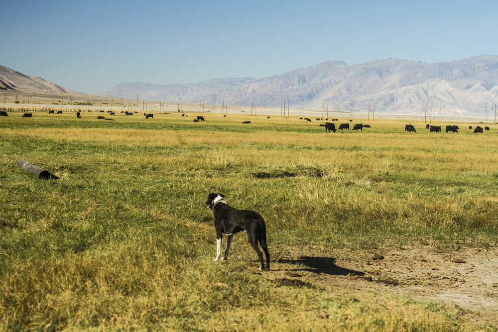 LACEY_DOG_WITH_COWS.jpg