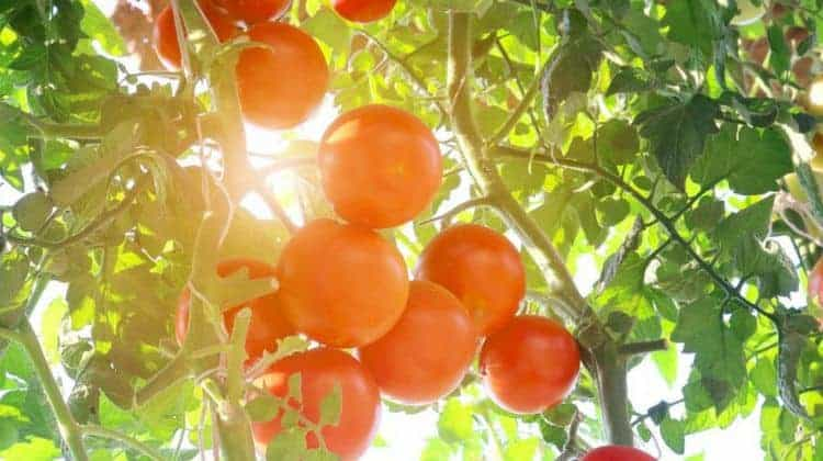 Get-Your-Tomato-Garden-Soil-Preparation-For-Spring-Featured-Image.jpg