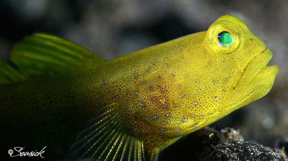 SEASICK WEB BALI15 Banded Shrimpgoby.jpg