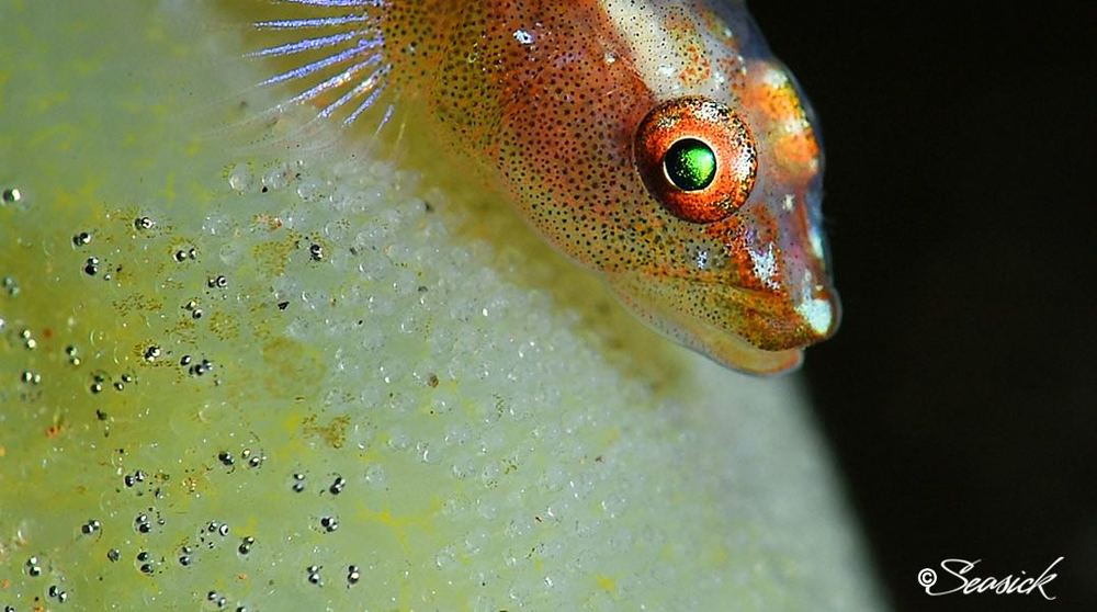 SEASICK WEB BALI15 Common Ghostgoby.jpg