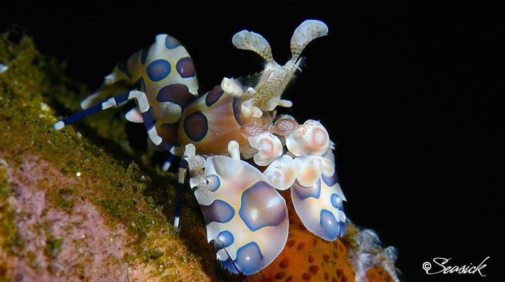 SEASICK WEB BALI15 Harlequin Shrimp.jpg