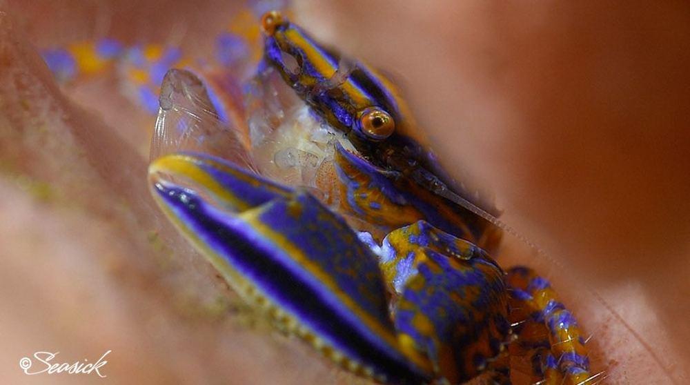 SEASICK WEB BALI15 Porcelain Crab.jpg