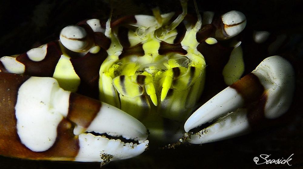 SEASICK WEB BALI14 Harlequin Crab.jpg