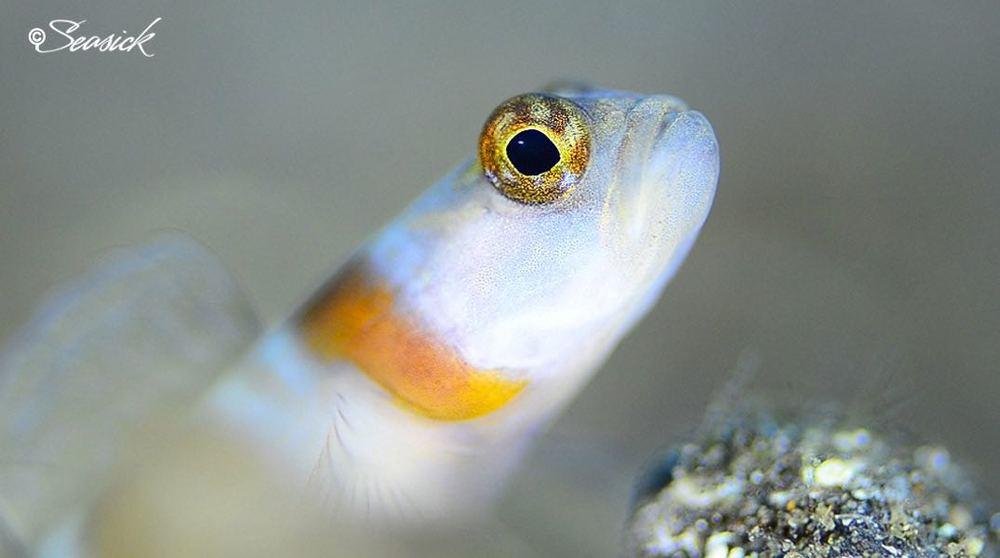 SEASICK WEB BALI14 Shrimpgoby.jpg