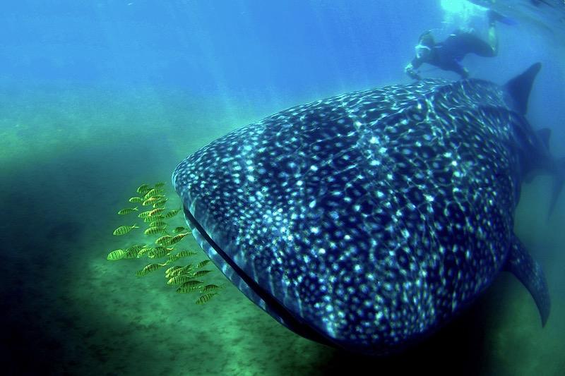 Whale shark.0006 RESIZED.jpg