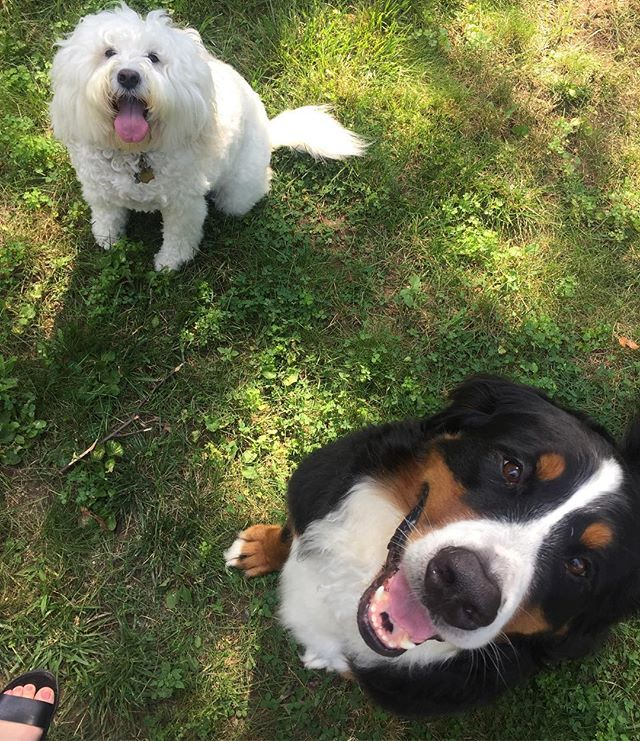 Suns out tongues out! Happy #tongueouttuesday from Napa and Katama (Katie) our favorite Vineyard girls! #tot #bernesemountaindog #englishgoldendoodle #southend #boston #dogsofsouthend #dogsofboston #dogwalker @kristinonevin @lorenzopea