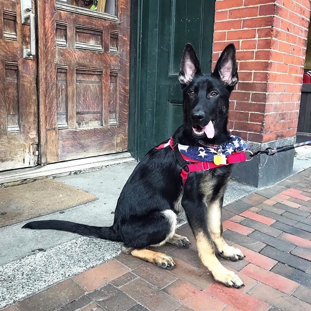 """Did I hear you say treats?!"" . . #dtailsboston #germanshephard #germanshephardofinstagram #germanshephardsofig #puppy #puppiesofinstagram #puppiesofig"