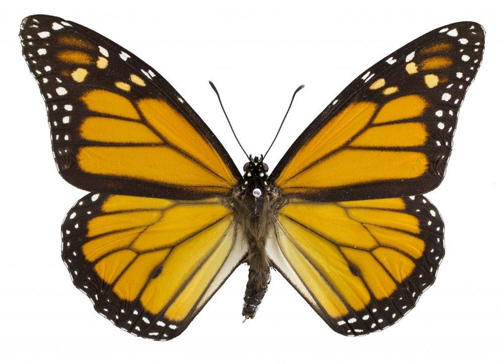 Monarch-butterfly-1024x738.jpg