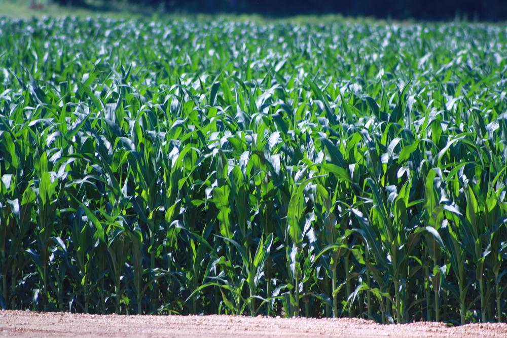 Corn on the Downer farm