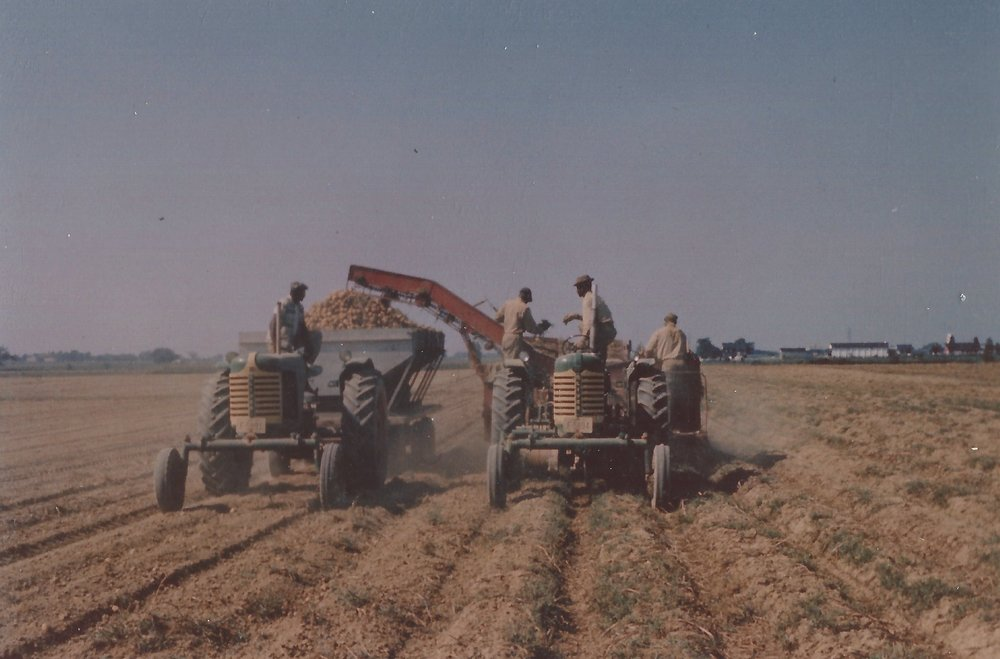 Harvesting potatoes in 1950's