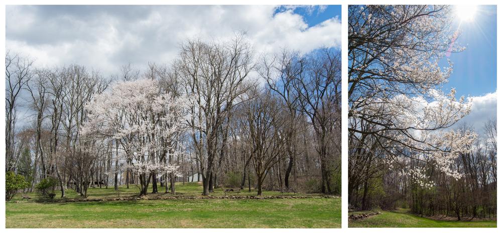white flower tree.jpg