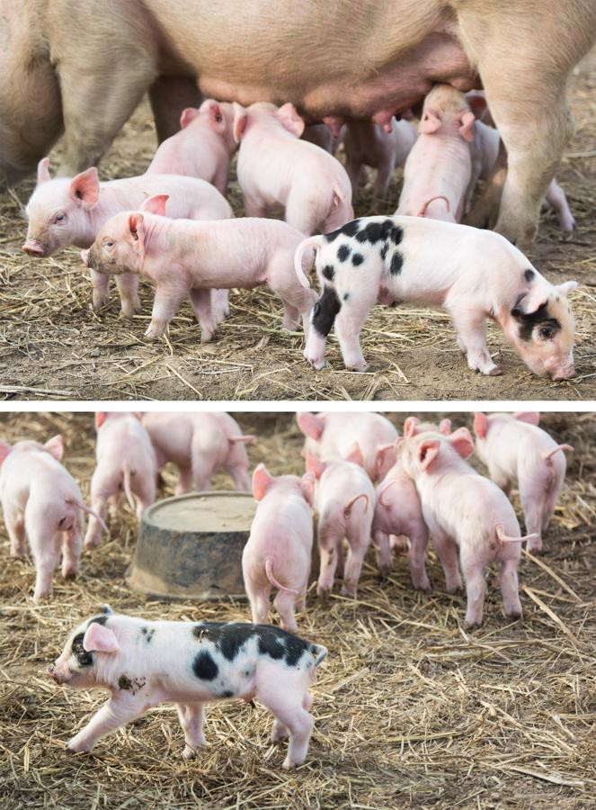 piglets2.jpg