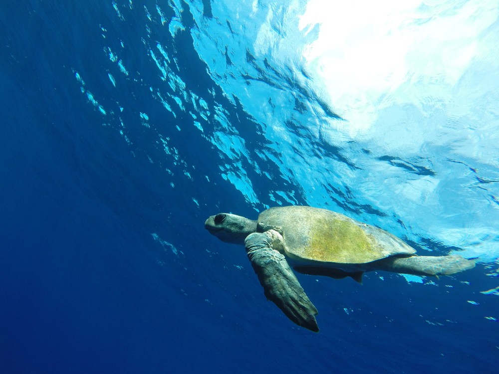 turtle underwater copy.JPG