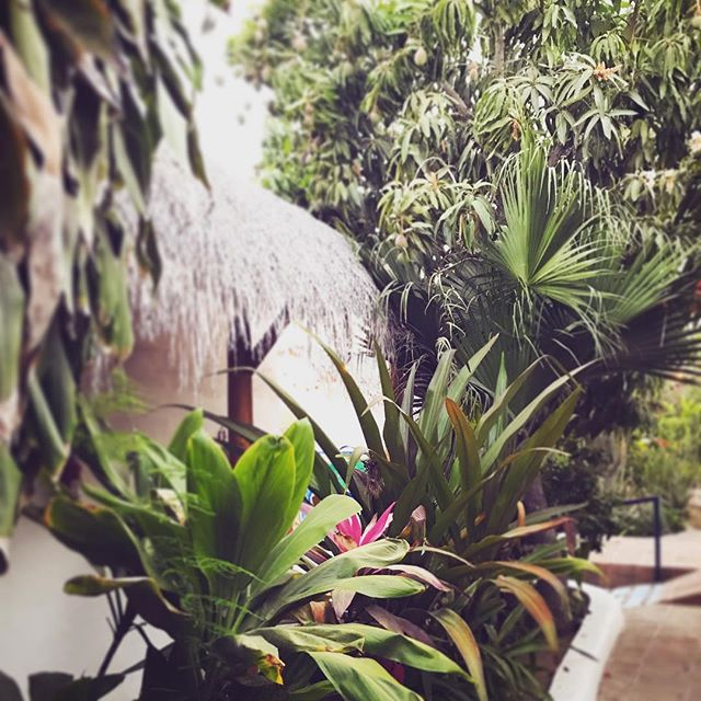 "Downtown lush secret garden hotel! About time for ""pick your own mango extravaganza!!"" #comestaywithus #secretgarden #downtown #todossantos #cangetalittlecrazy #notyourtypicalhotel #hotelpequeño #boutiquehotel #b&b #hotelito #lush #historical #casita #lascasitas #baja #mexico"