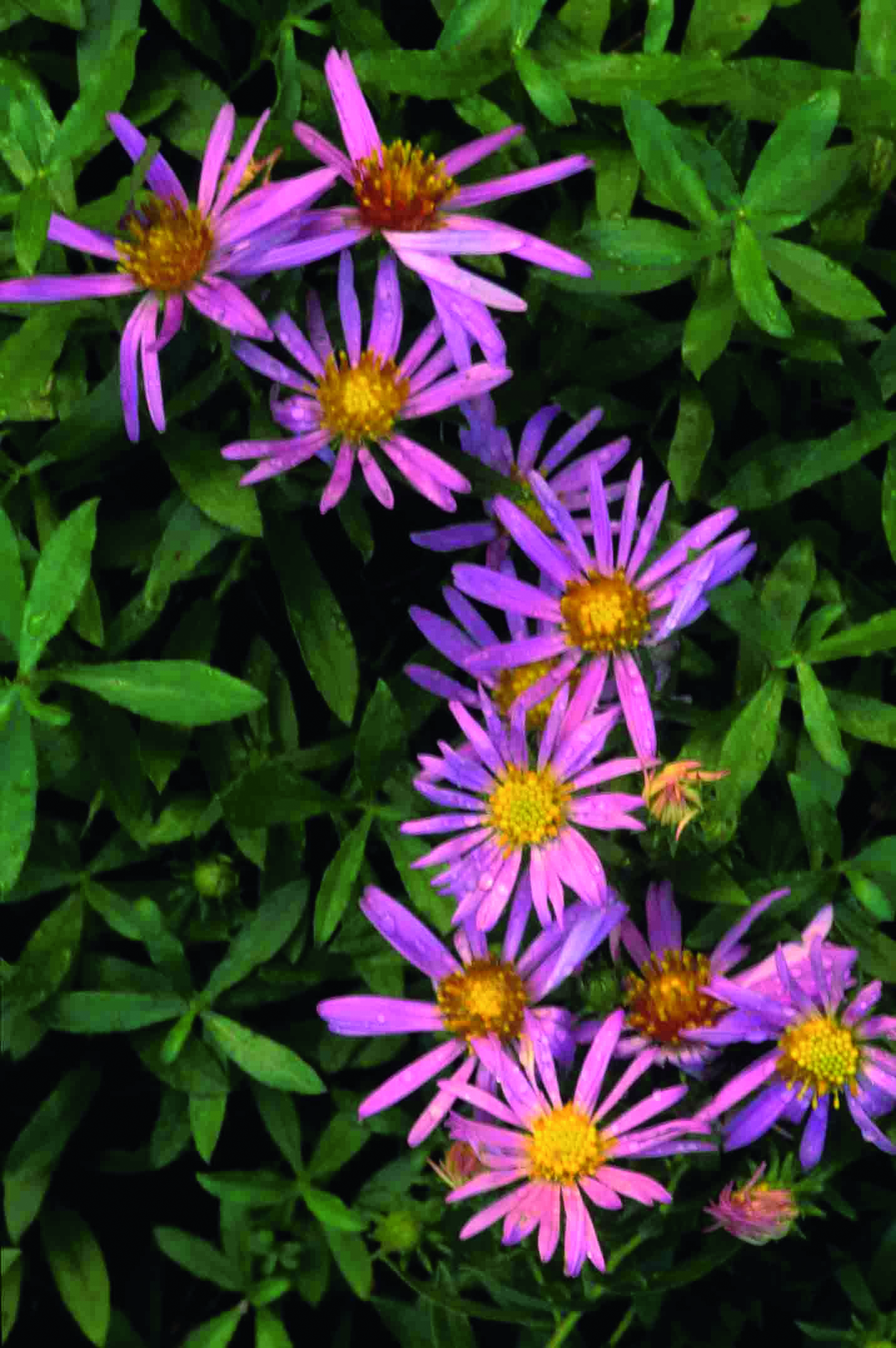 Symphyotrichum oblongifolium (Shale or Aromatic Aster), Photo courtesy of Tom Barnes
