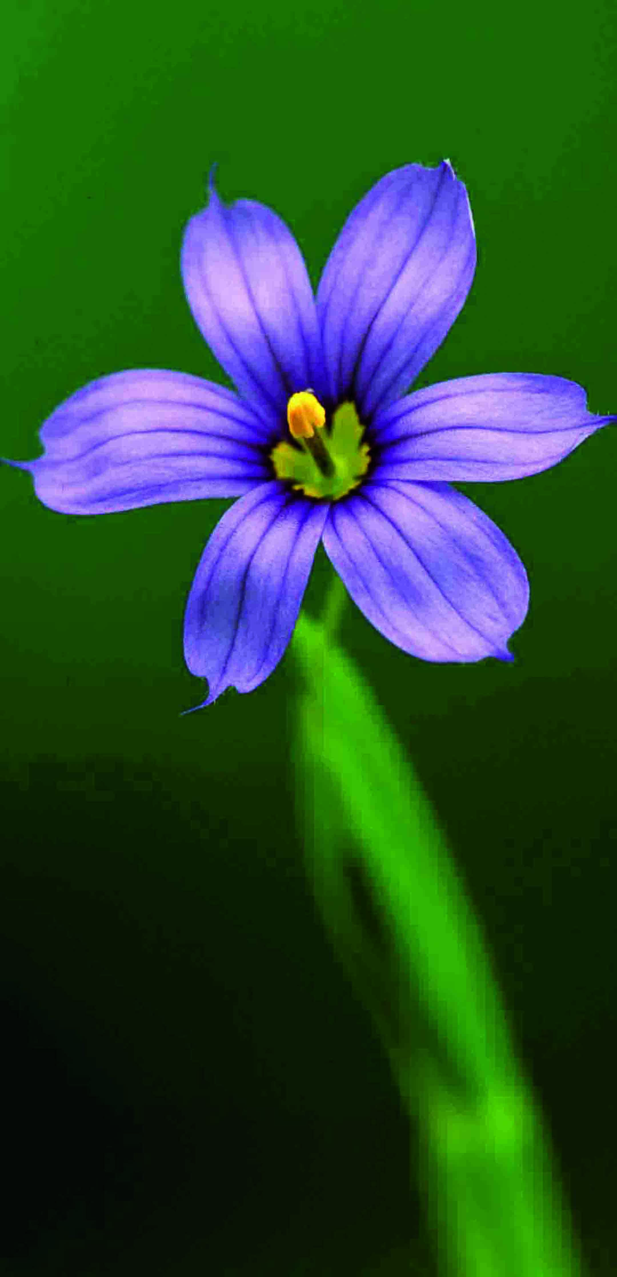 Sisyrinchium angustifolium (Narrowleaf Blue-eyed Grass), Photo courtesy of Tom Barnes
