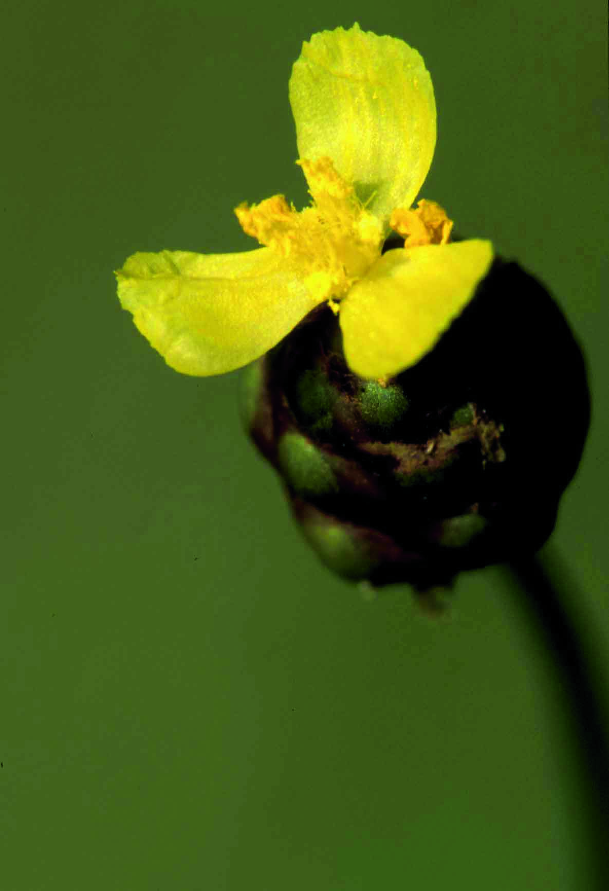 Xyris Torta (Slender Yellow-eyed Grass), Photo courtesy of Tom Barnes
