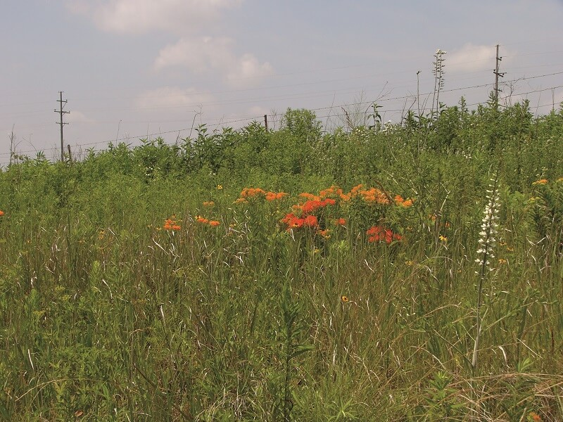 Butterfly Milkweed and Nodding Ladies Tresses in the Trella Romine Prairie in Marion County, Ohio