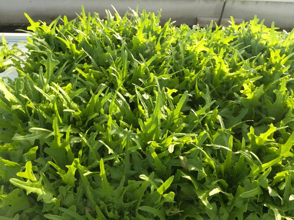 Green Oak Leaf lettuce