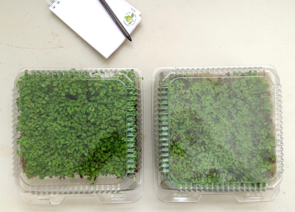 Arugula & Spicy Microgreens