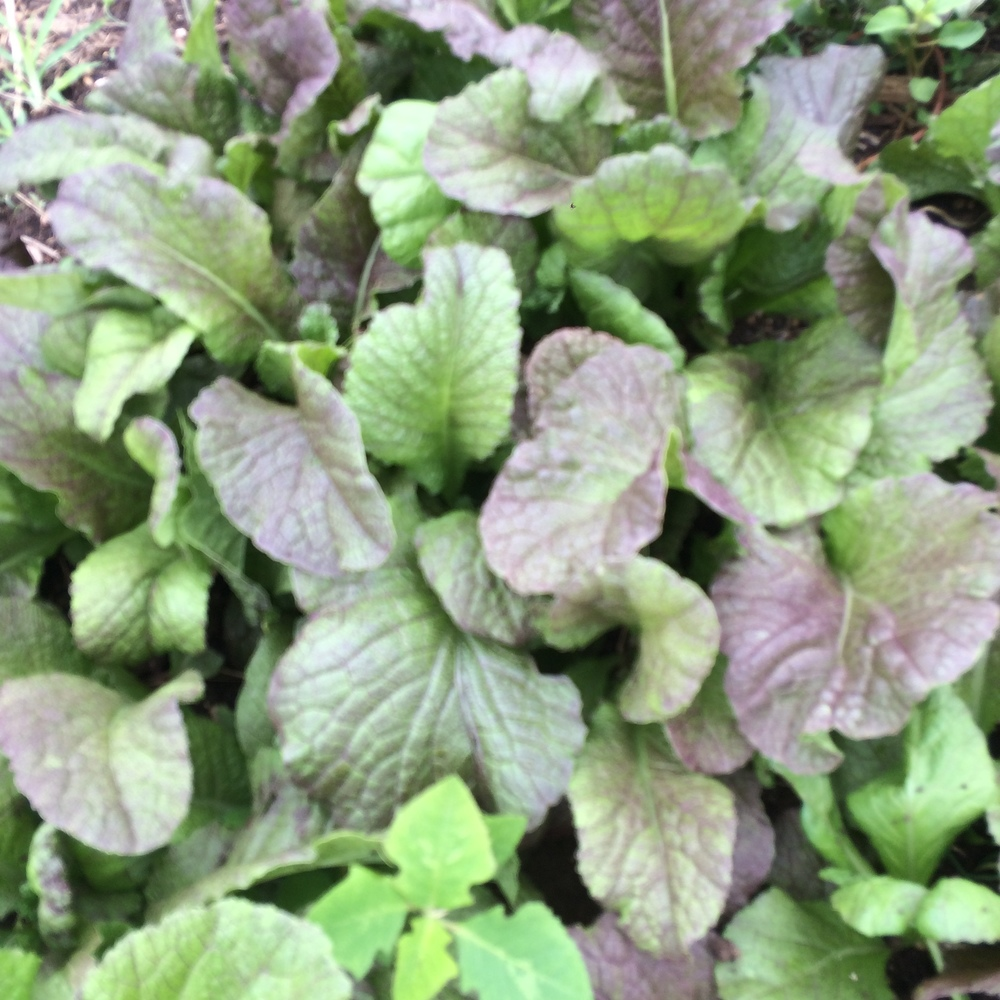 Red Giant Mustard Green