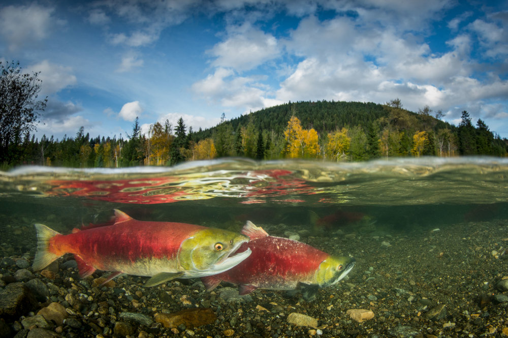spawning sockeye salmon showing sky.JPG