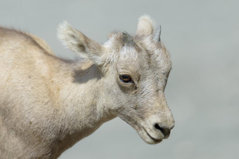 mountain sheep (kid).jpg
