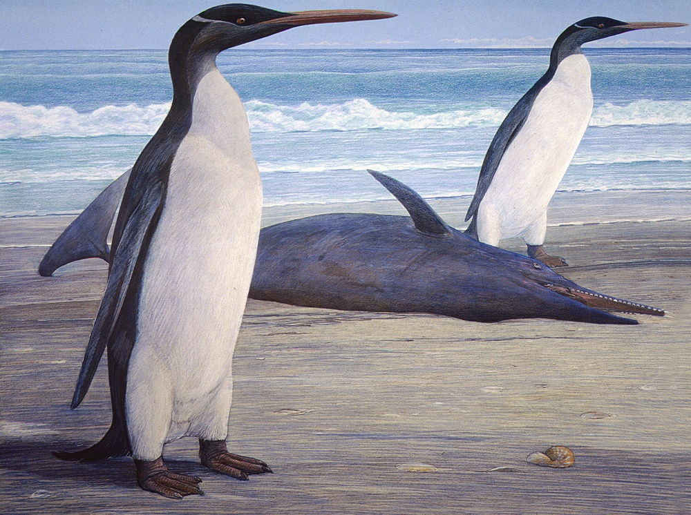 Kairuku waitaki,  and extinct giant penguin from New Zealand. Artwork by Chris Gaskin, copyright University of Otago Geology Museum.