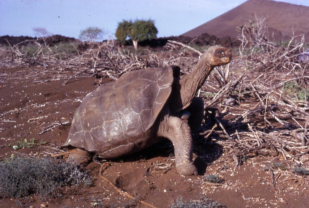 Lonesome George photographed on the morning of his removal from Pinta Island (1971). Photo by Peter C. H. Pritchard.