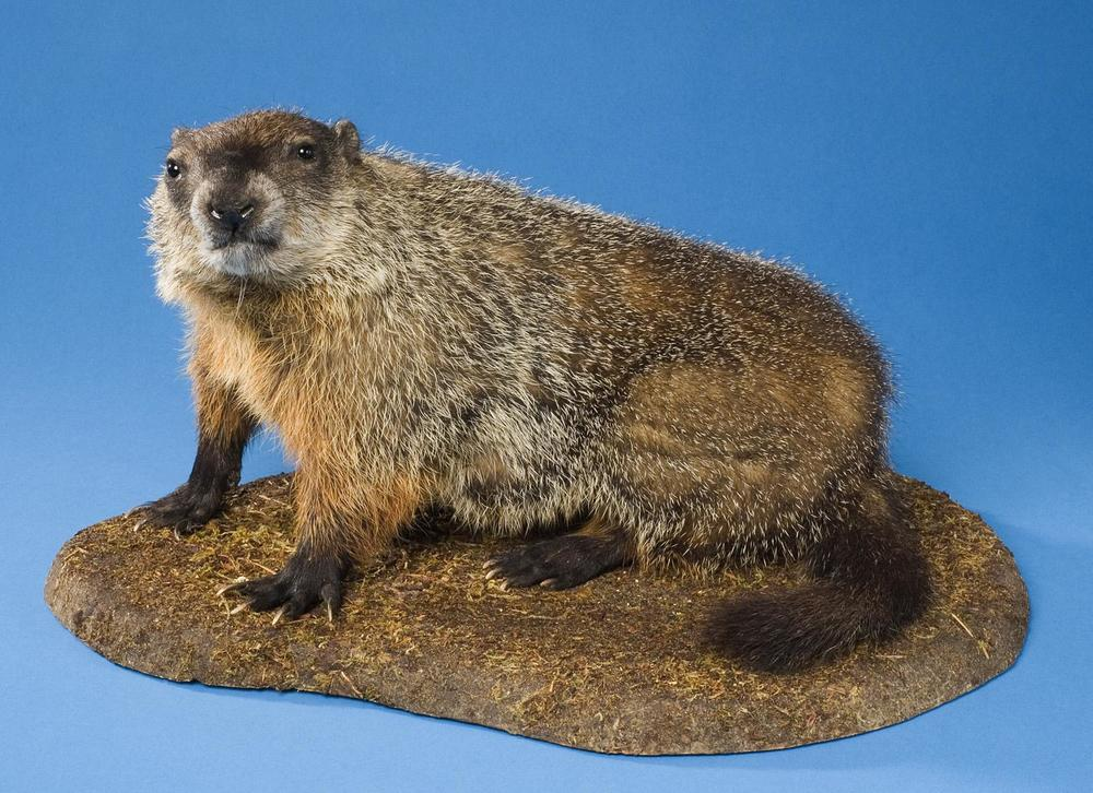 Groundhog, or woodchuck   Marmota monax   Bruce Museum Collection 2006.06