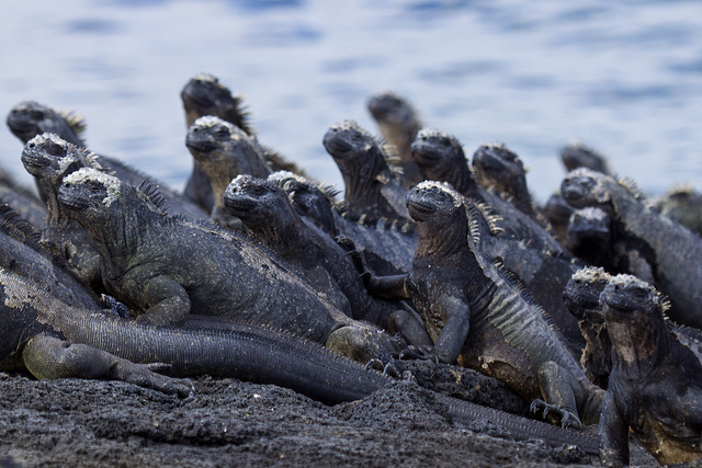 Marine iguanas. Photo by Max Ruckman