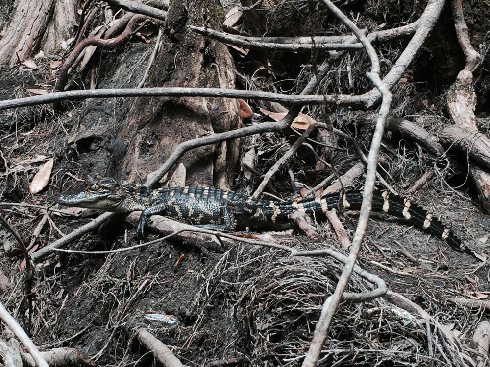 A one year old American alligator.