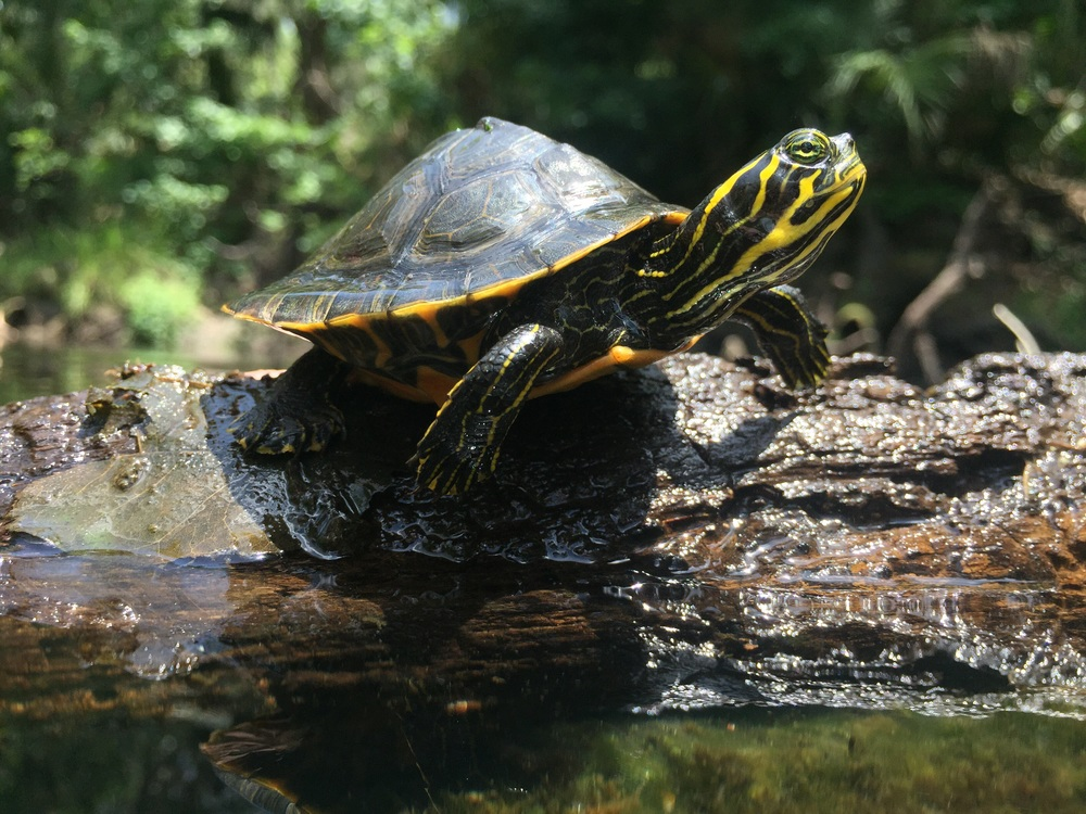 A beautiful juvenile Suwannee cooter.