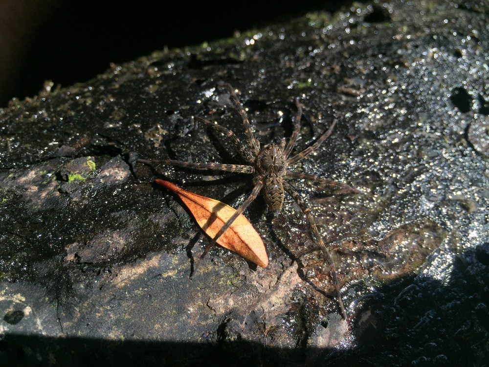 Okeefenokee fishing spider.