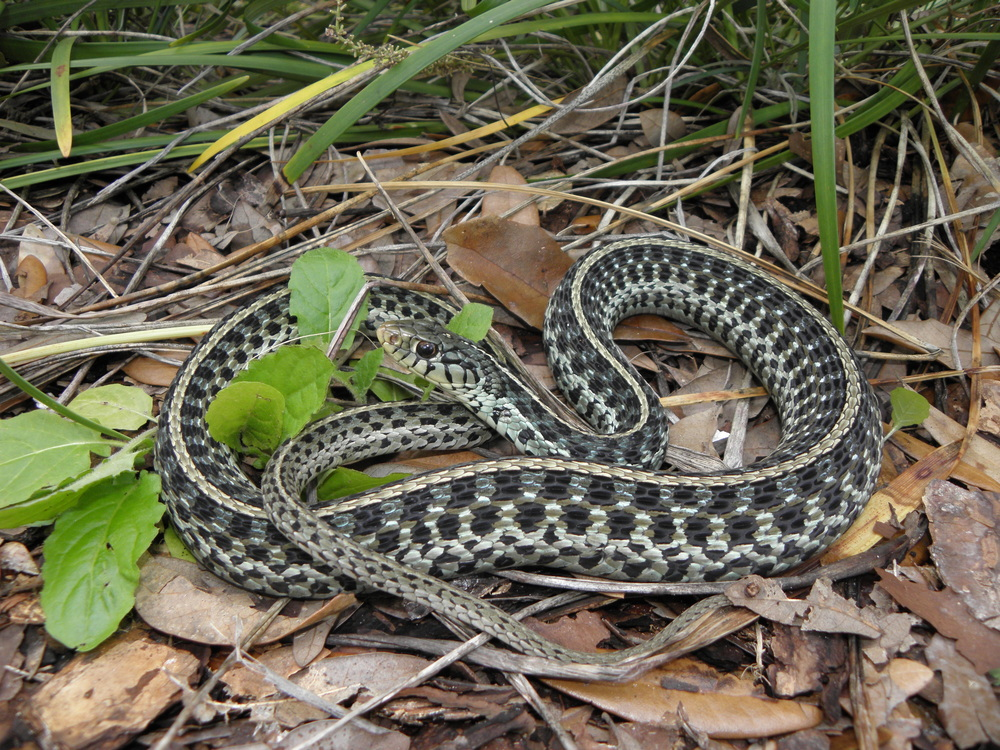 Photo by Tim Walsh  Up to half of garter snakes will die during the winter, even among those who are sheltered.