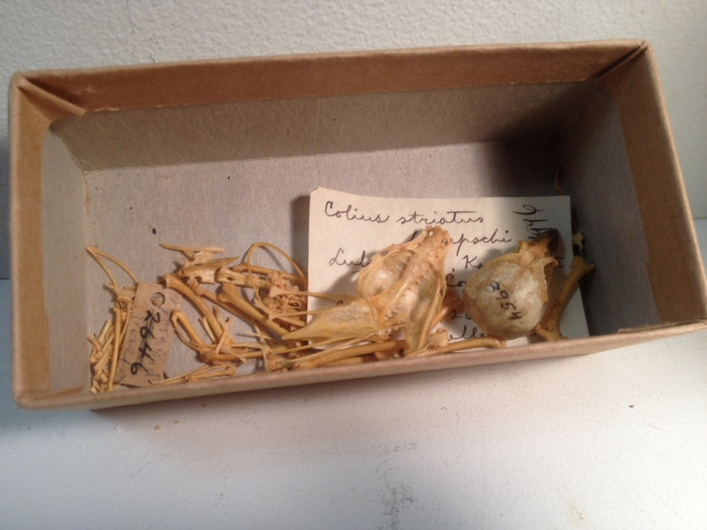 The skeletons we clean will end up like this mousbird, carefully labeled and stored in the Bruce Museum collections.