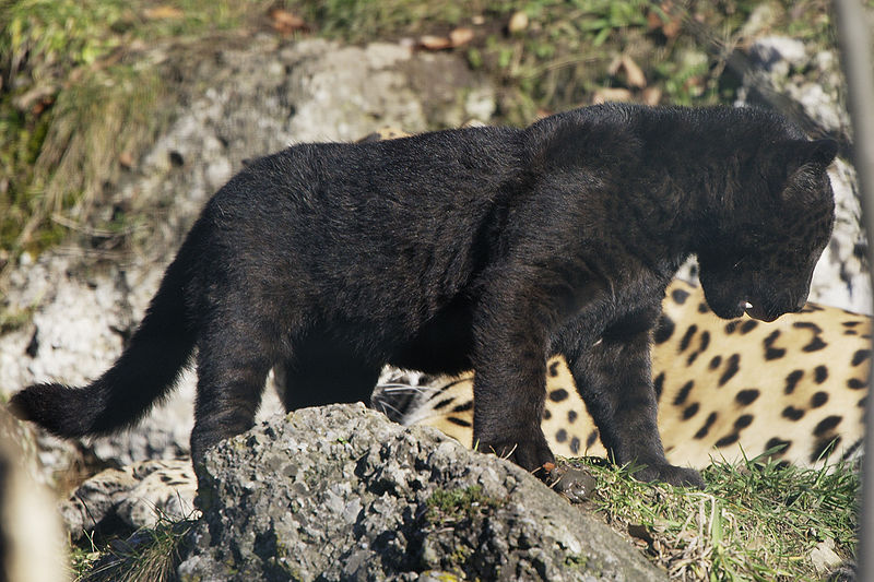 Photo by Matthias Kabel  Melanism in jaguars is a dominant trait. If one parent of this cub was normal-colored, the other parent must have been melanistic.