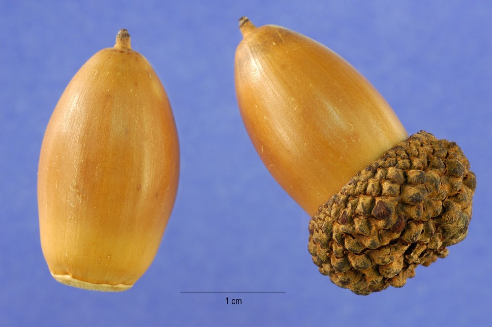 The acorn of the white oak is low in tannin and has a pleasant nutty flavor. These acorns are favored by humans and animals alike.